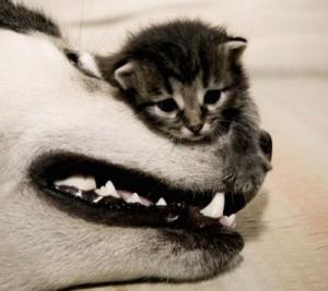 2772-kitten-the-beast-400-356-300x267