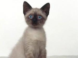 Blue-Eyes-Siamese-Cat-300x225
