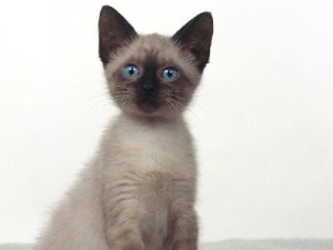 Blue-Eyes-Siamese-Cat-300x225