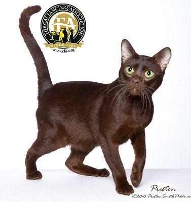 Havana-Brown-Cat-Picture