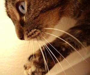 mustati-pisica-300x248