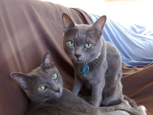 Pisica-Rasa-Korat-rase-de-pisici-rare-300x225