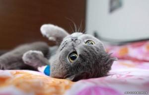 pisica_dragalasa_big-300x191