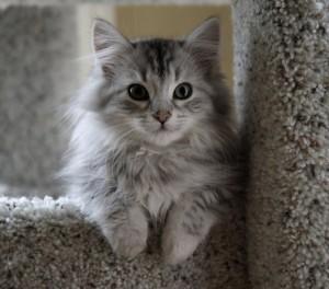 siberian-cat-218804-530-468-300x264